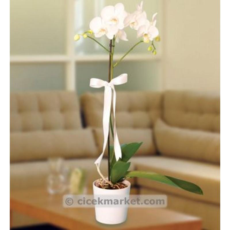 Tekli Orkide